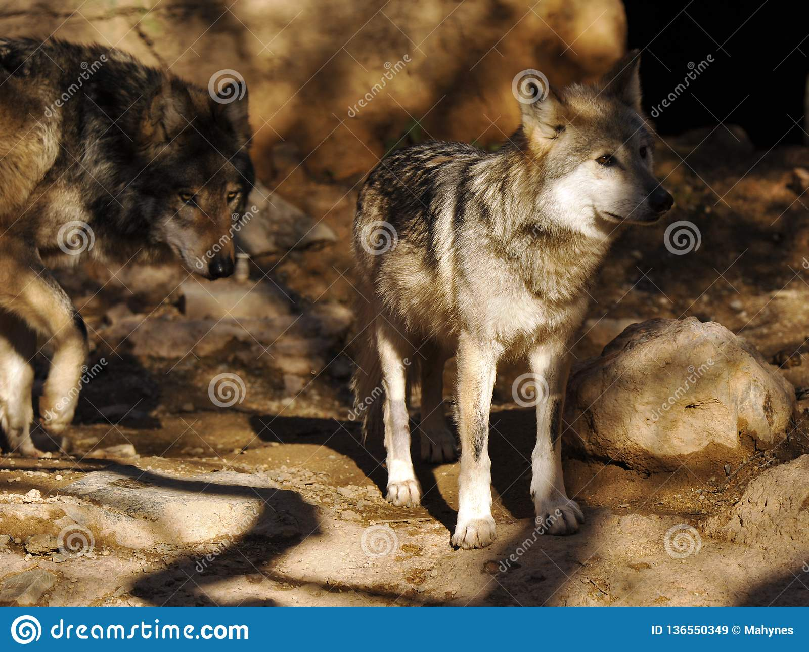 关闭墨西哥灰狼对有单色背景
