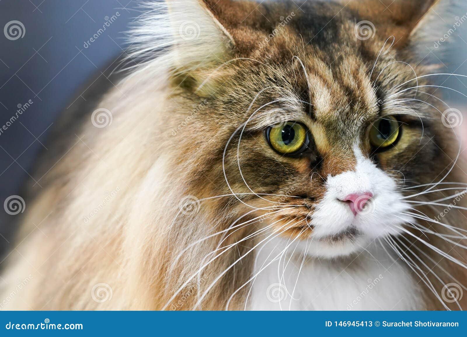 关闭对此的山猫面孔长的颊须长白色和棕色头发