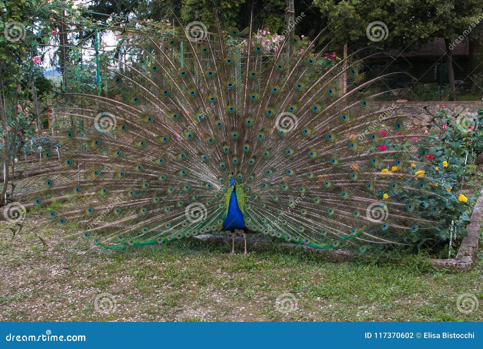 关闭显示它美丽的羽毛的孔雀