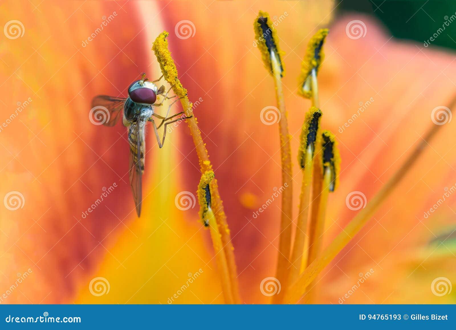 关闭橘子果酱hoverfly在橙色花