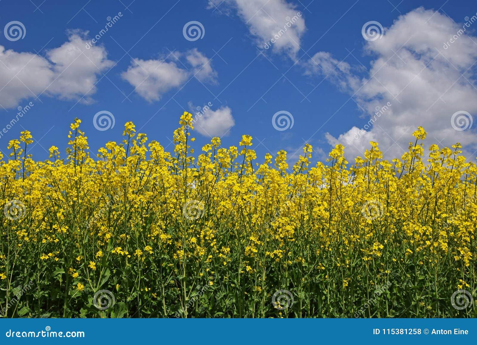 关闭油菜籽的领域在多云蓝天下