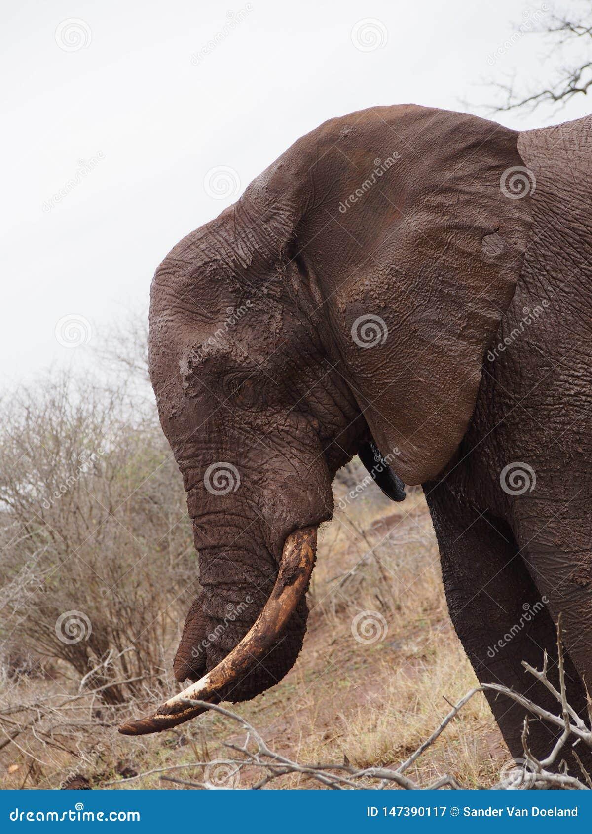 关闭泥泞的大象在非洲