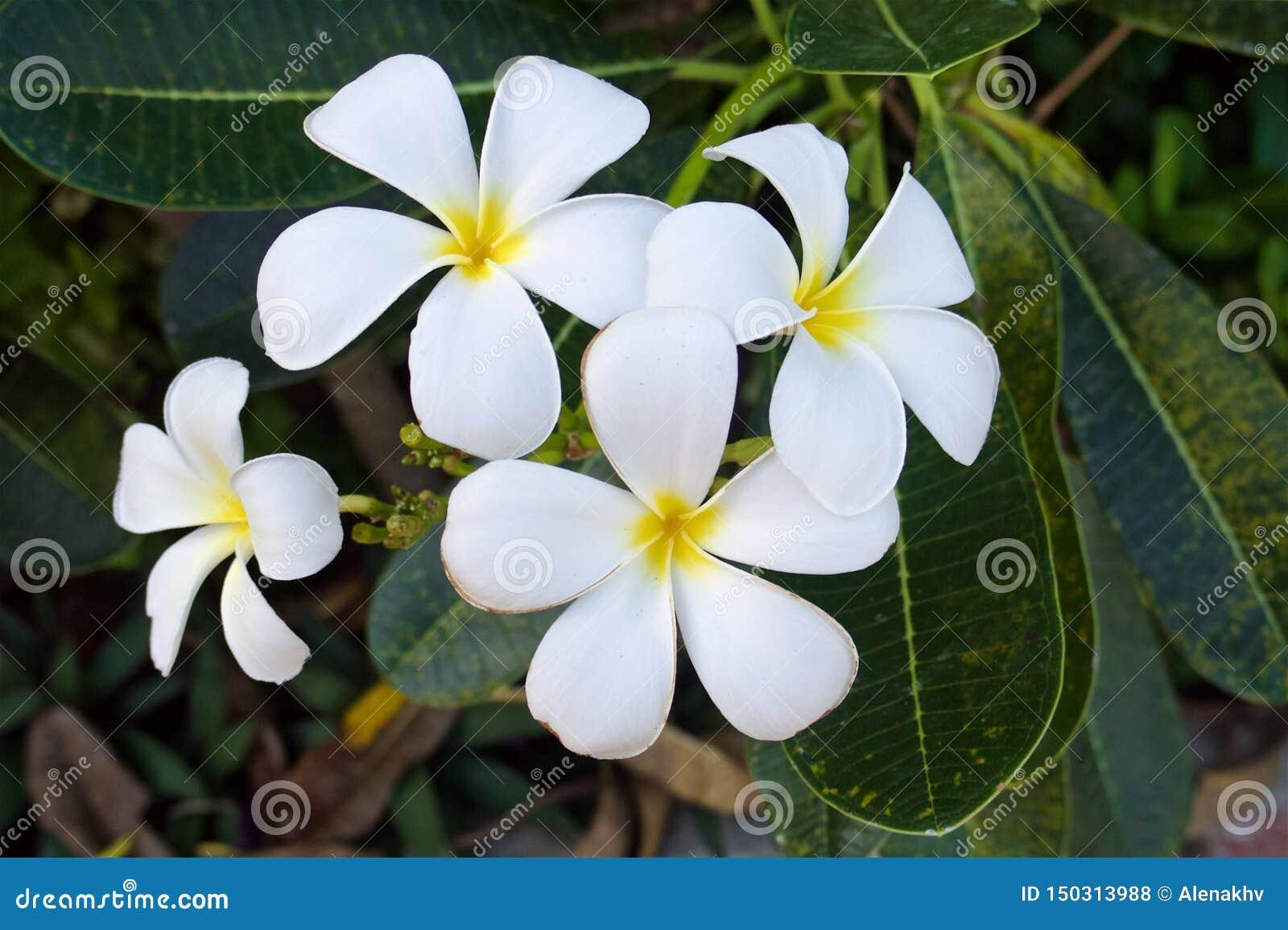 关闭泰国热带白色和黄色羽毛花