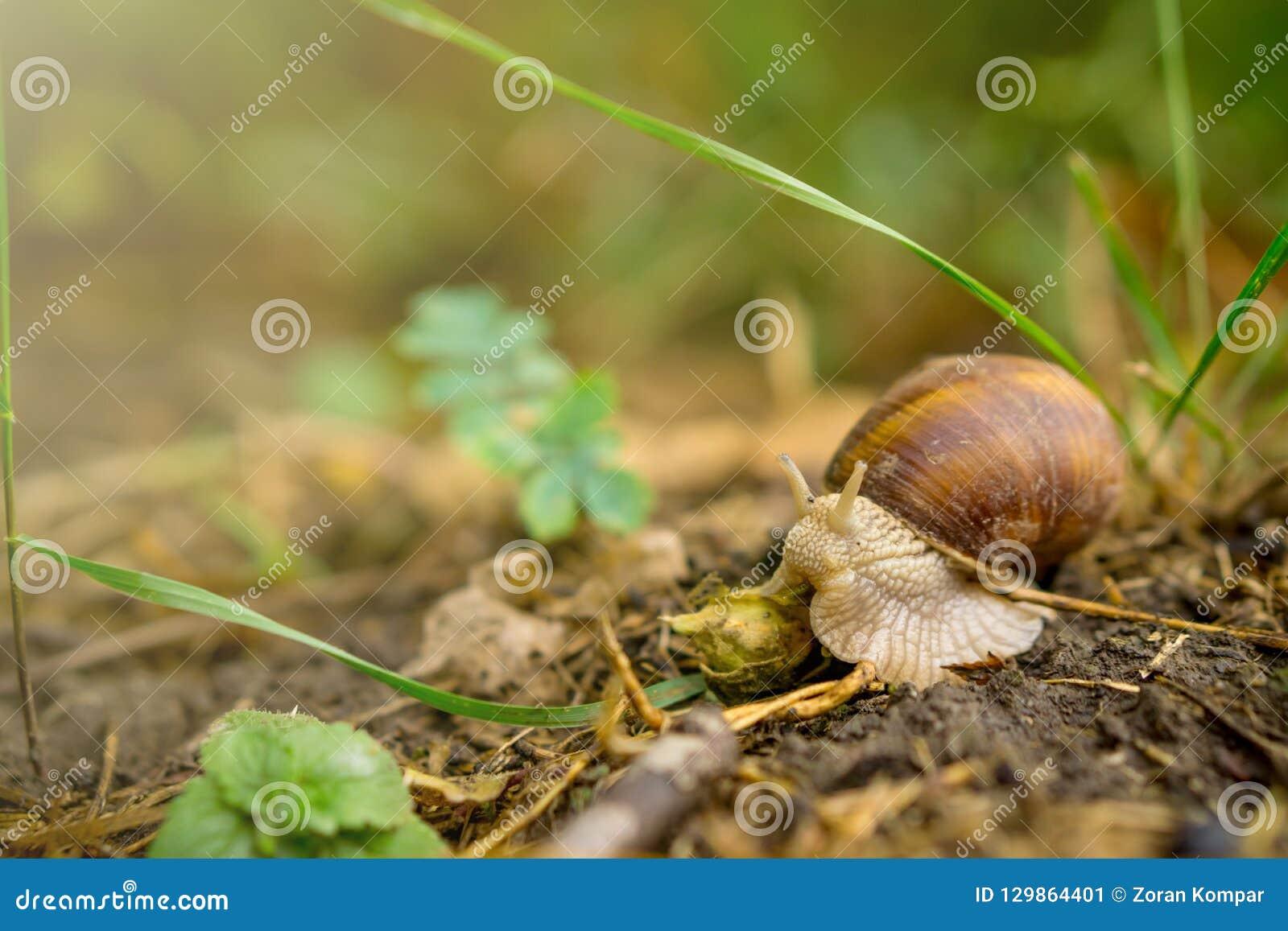 关闭爬行在土壤的蜗牛在森林里