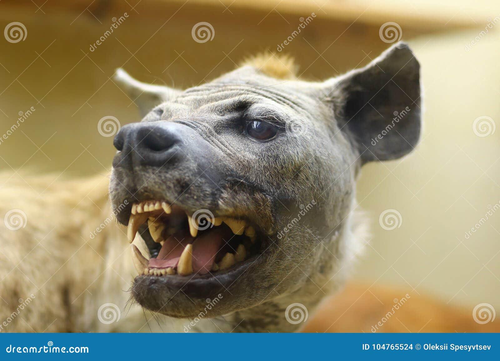 关闭狂放恼怒咆哮咧嘴的笑的鬣狗,填充动物玩偶