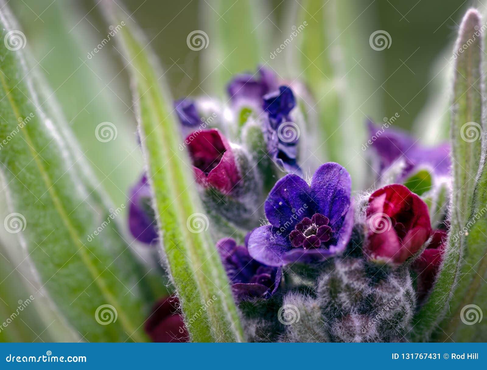 关闭猎犬舌头琉璃草officinale五颜六色的花在他们沙丘的典型的栖所,Formby,塞夫顿