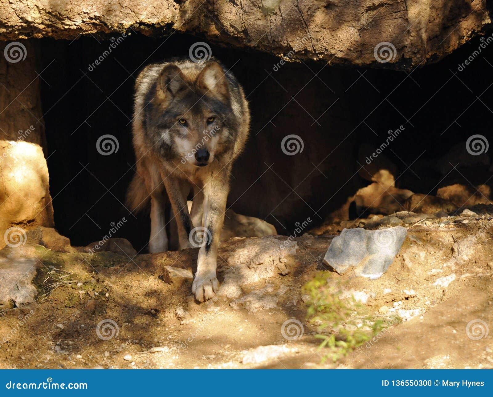 关闭留下洞的墨西哥灰狼