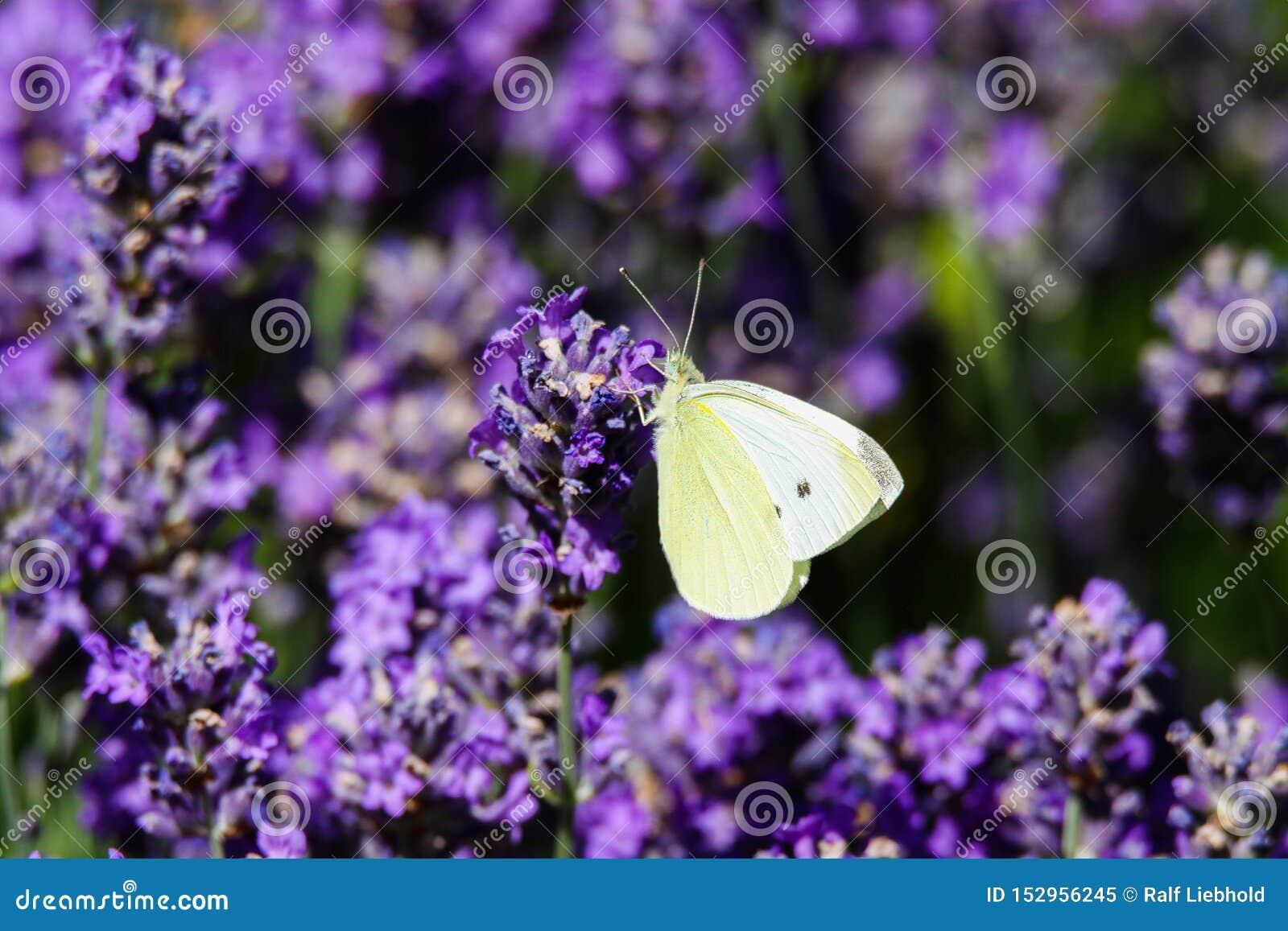 关闭粉蝶蝴蝶在淡紫色淡紫色的皮利斯brassicae