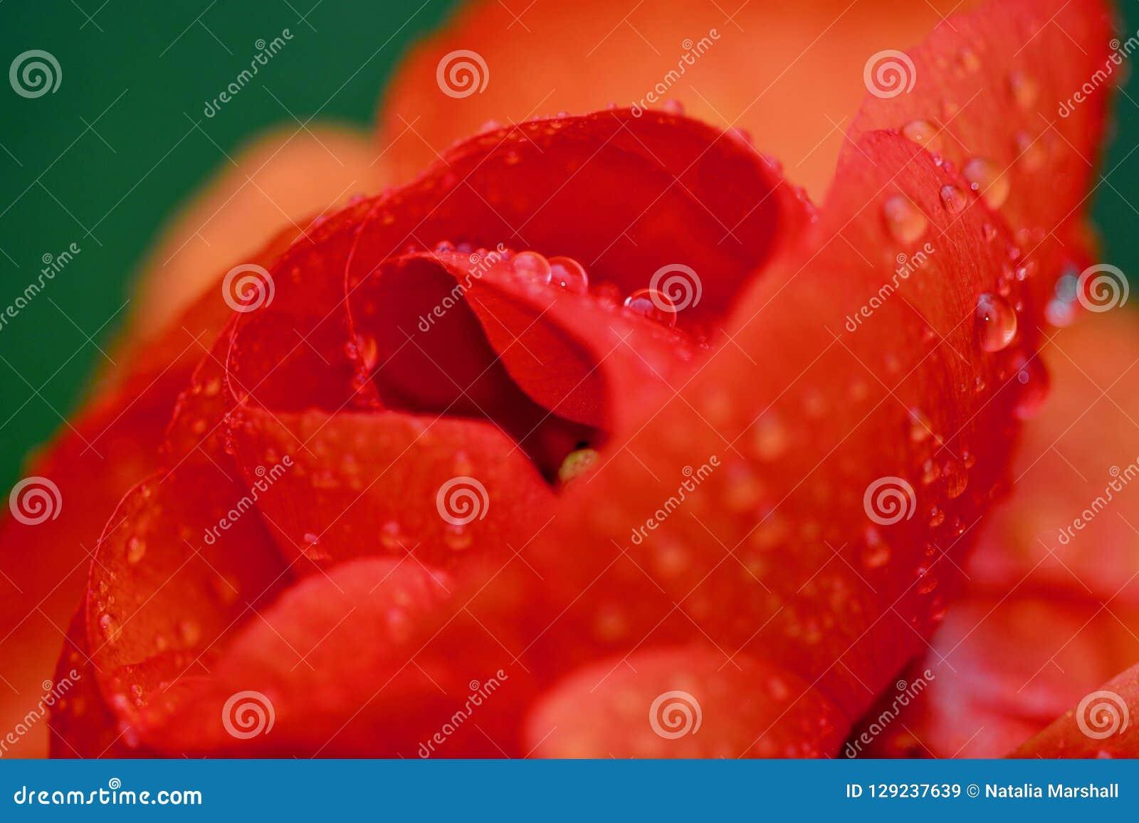 关闭红橙色毛茛属花的照片