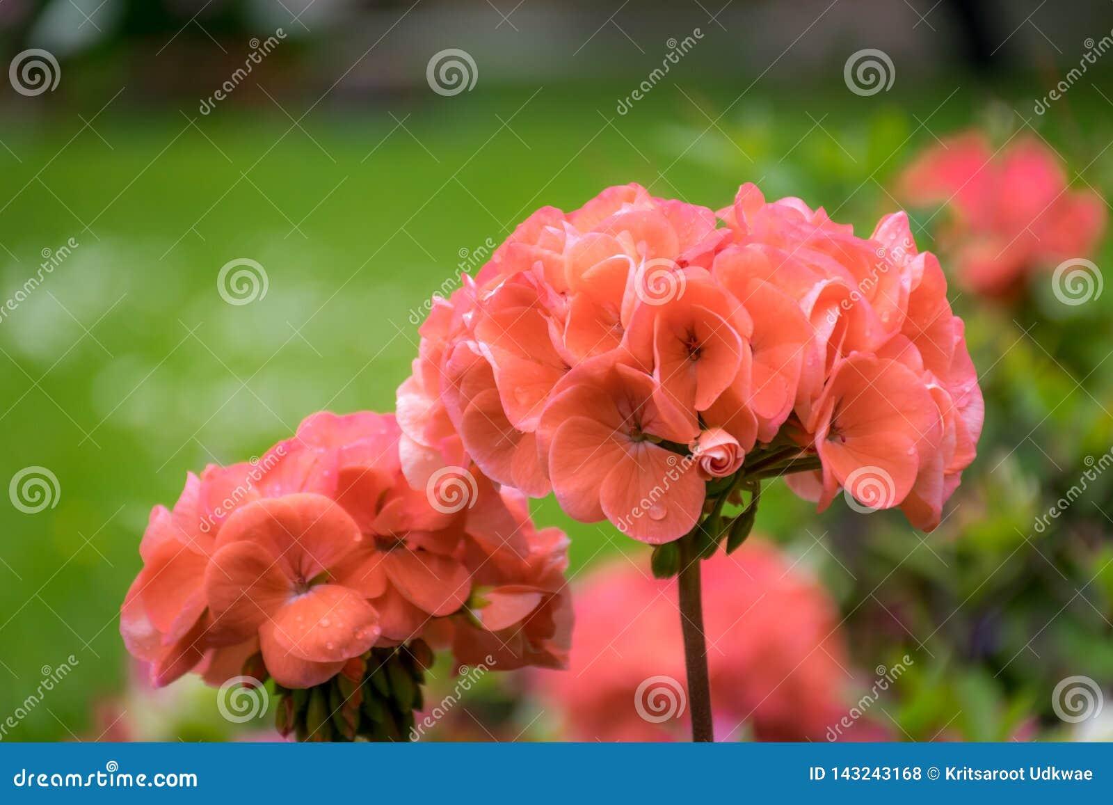 关闭红色大竺葵花在庭院里