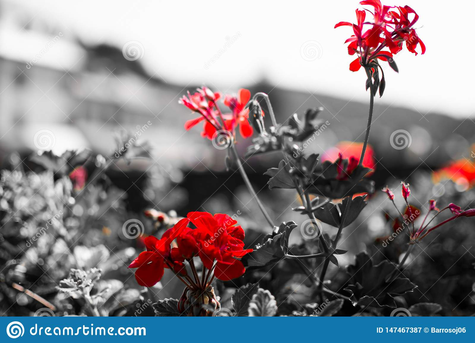 关闭红色花有在黑白的desatured背景 ?? 宏观花图片