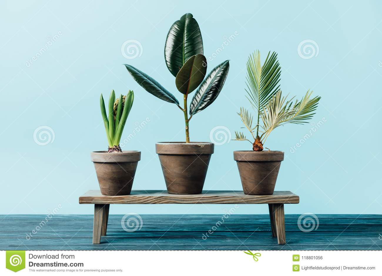 关闭绿色植物看法花盆的在蓝色隔绝的木装饰长凳
