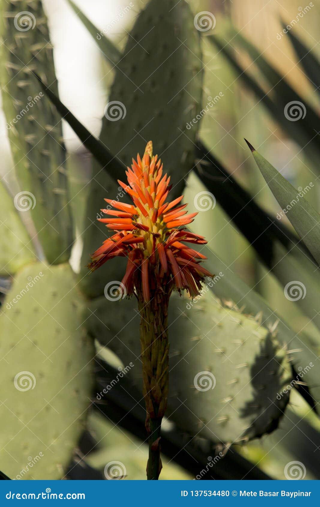 关闭芦荟维拉有仙人掌叶子的头状花序从图尔古特雷伊斯,土耳其