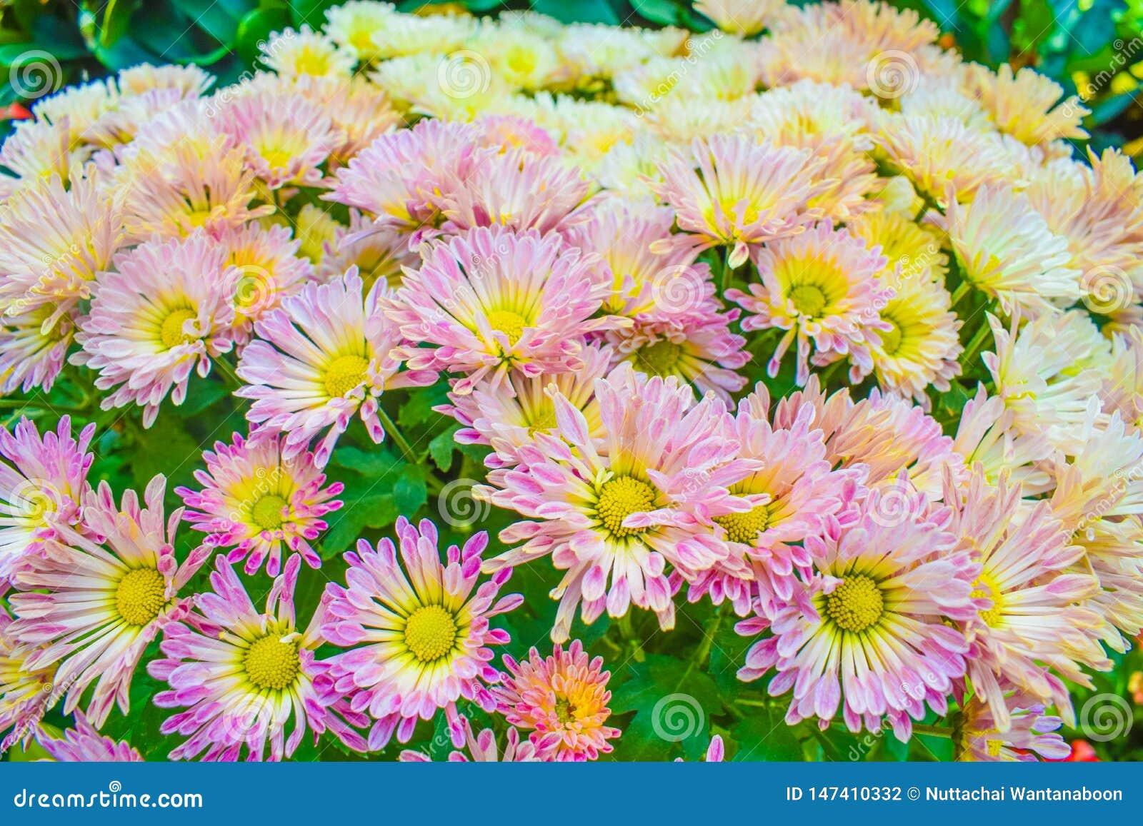 关闭菊花桃红色在庭院,美好的自然背景里