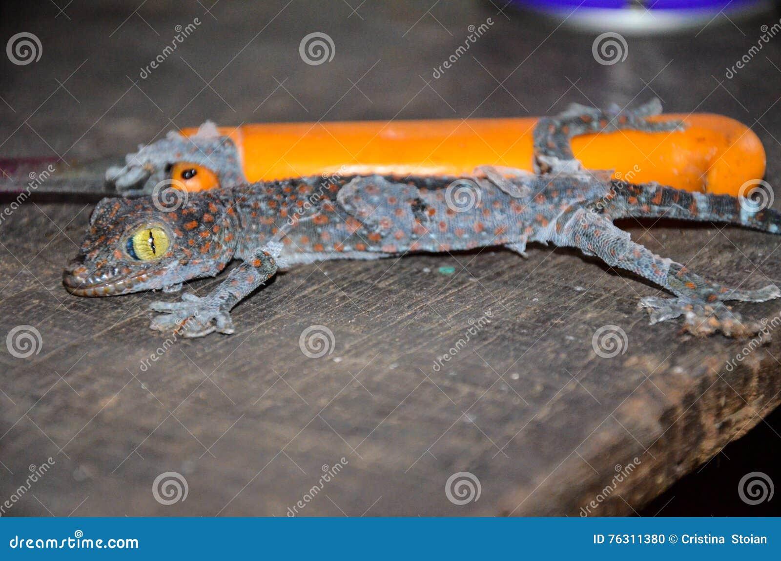 关闭蜕变在一张老木桌上的老皮肤的壁虎