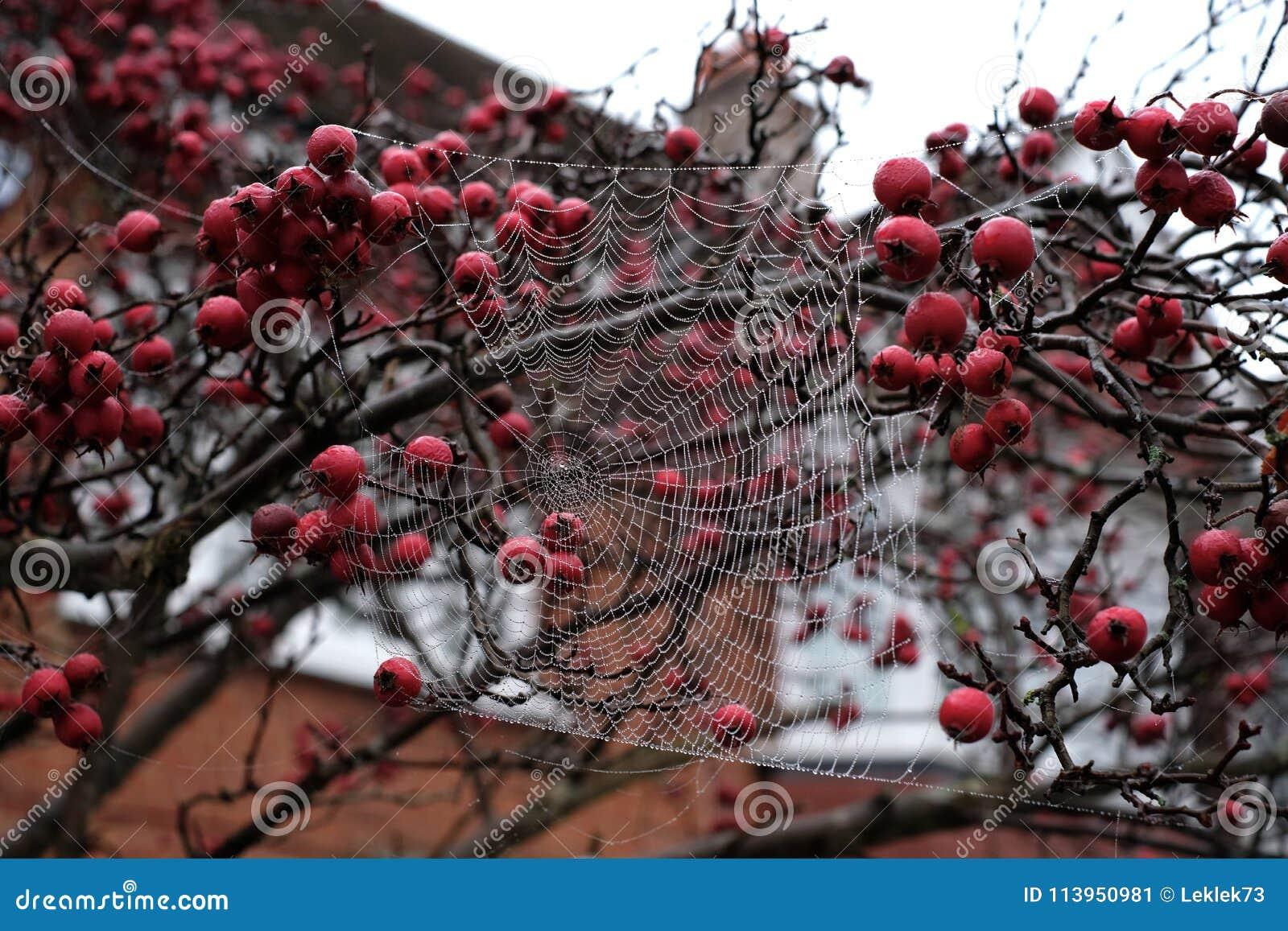 关闭蜘蛛垂悬从红色山楂子树的` s网照片在秋天