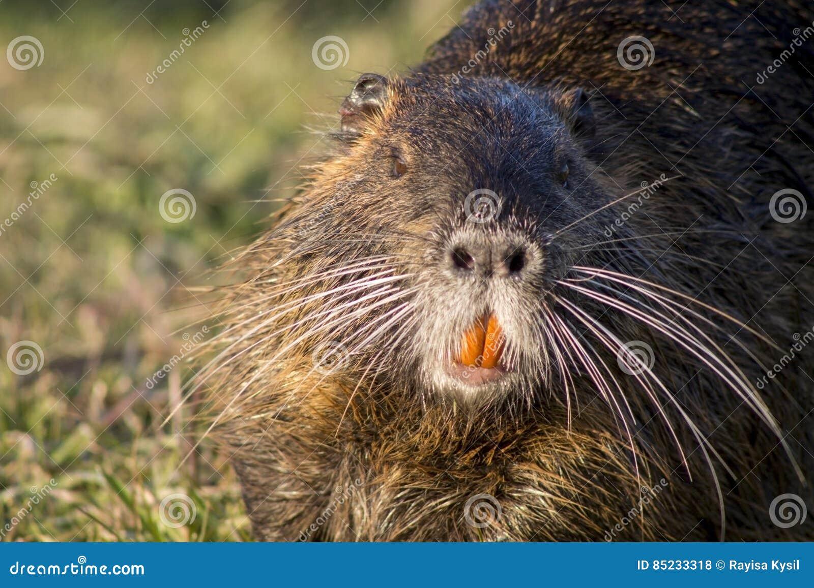 关闭,也称巨水鼠的nutria的照片或河鼠