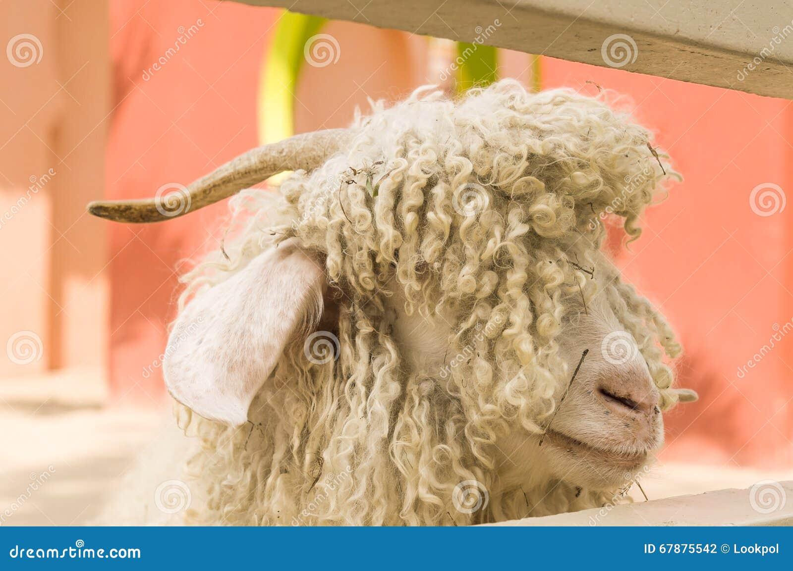关闭绵羊头