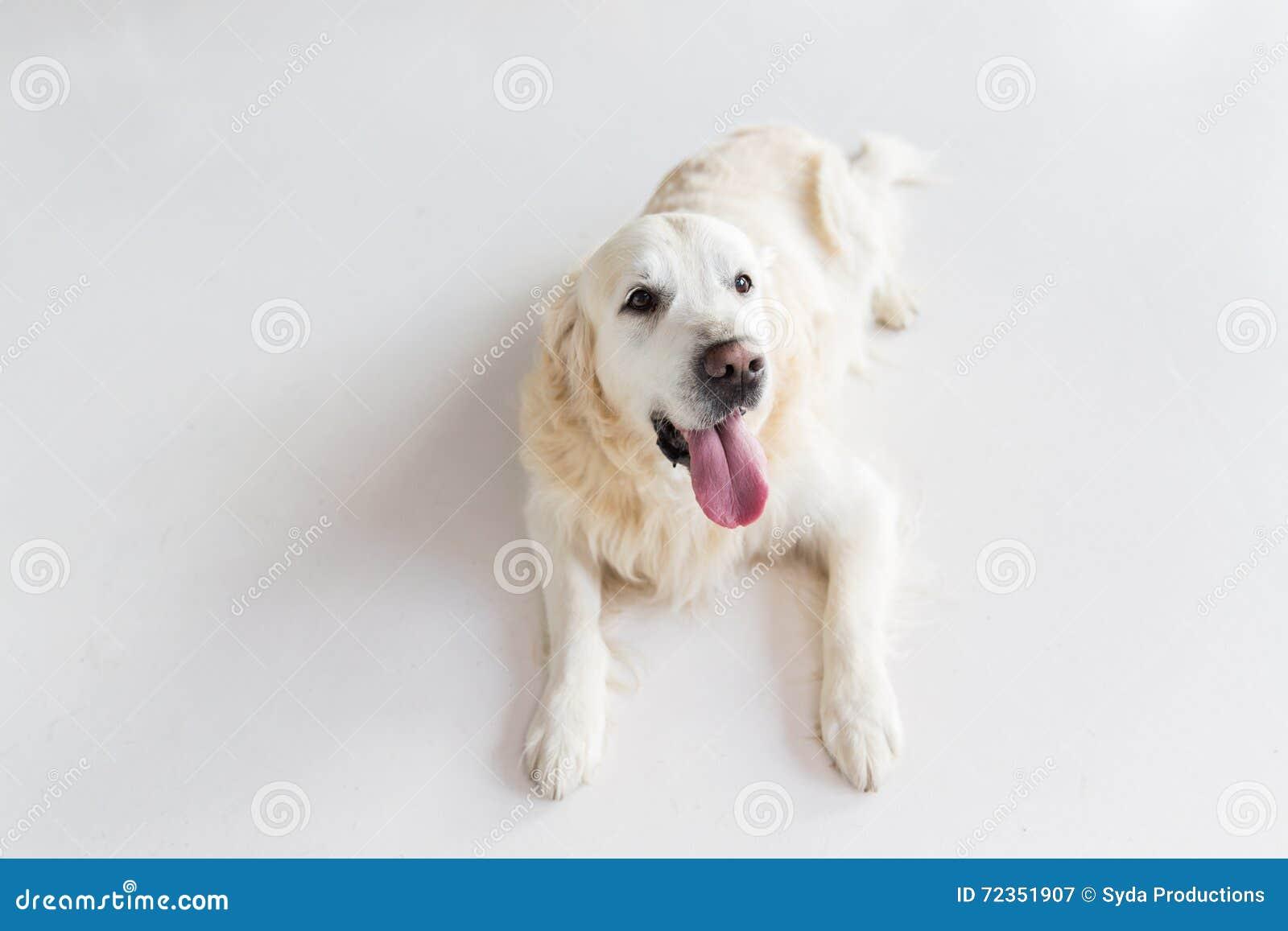 关闭说谎在地板上的金毛猎犬狗