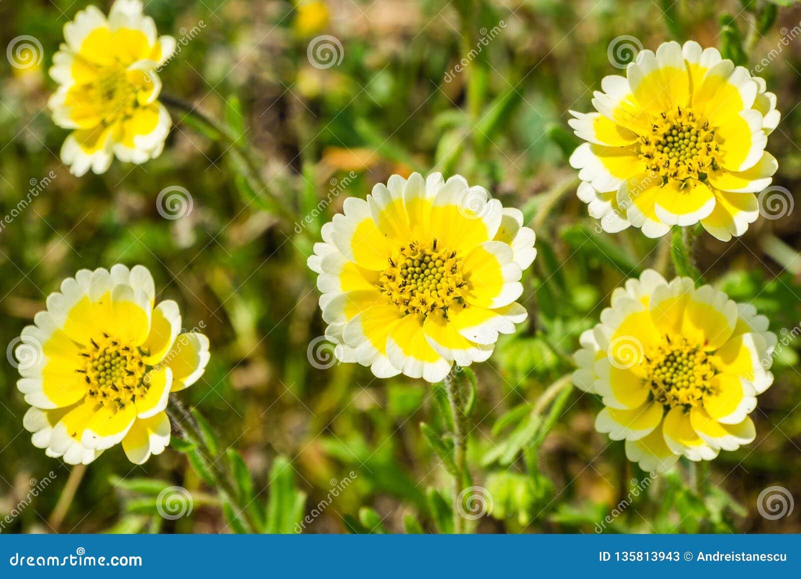 关闭Layia platyglossa野花,共同地叫沿海宽舌莱氏菊,加利福尼亚