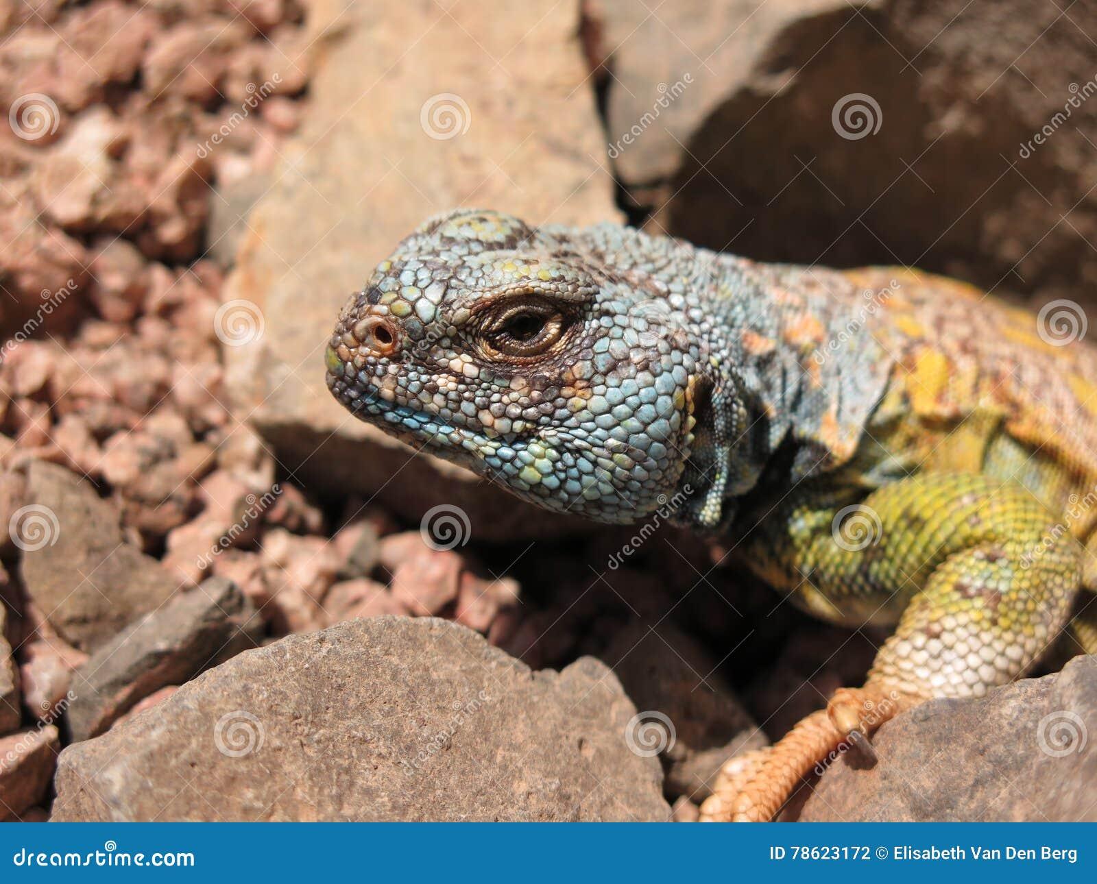 关闭Uromastyx Ornata -华丽多刺的被盯梢的蜥蜴