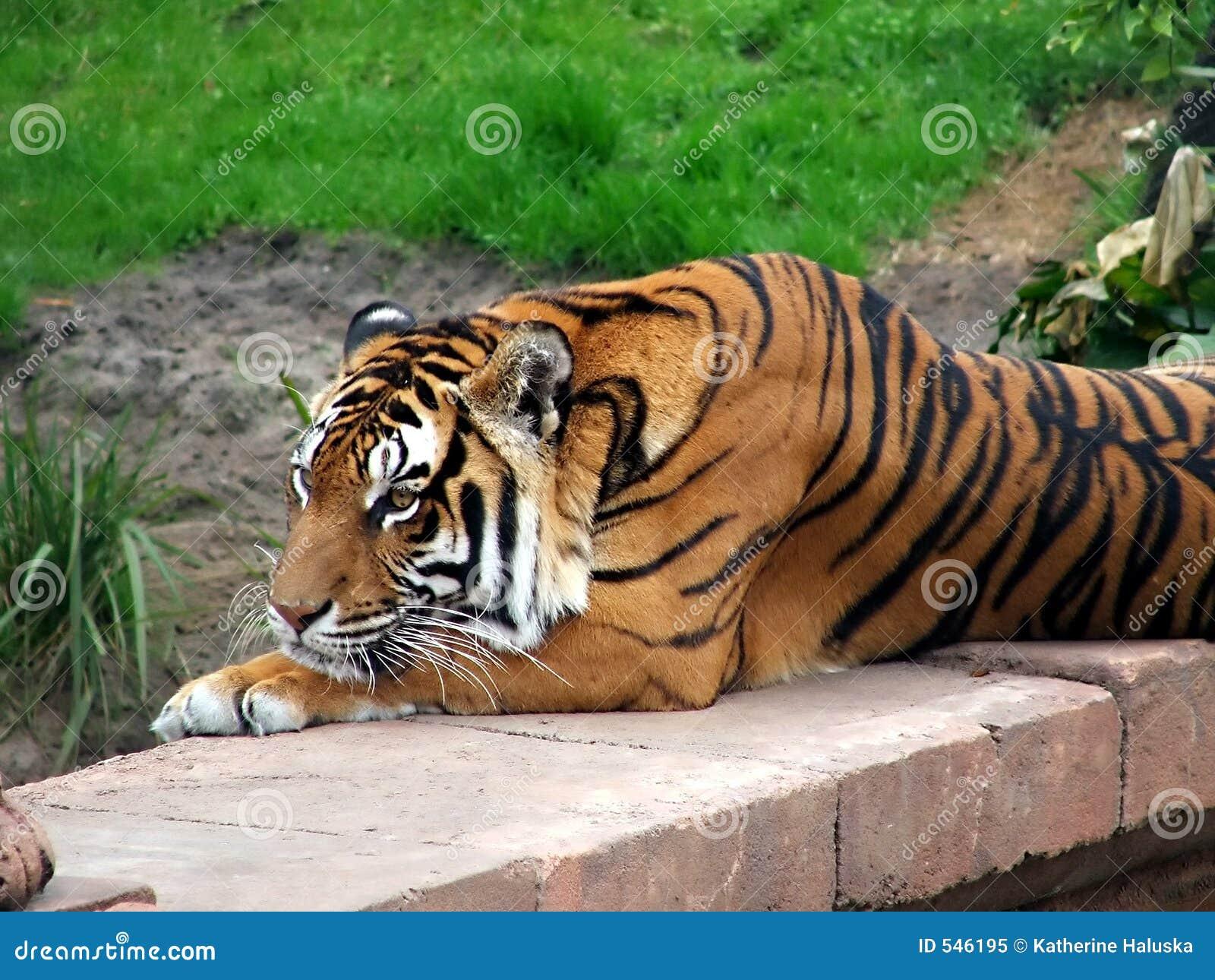 Download 其它老虎 库存图片. 图片 包括有 似猫, 野生生物, 数据条, 强大, 橙色, 敌意, 哺乳动物, 老虎, 投反对票 - 546195
