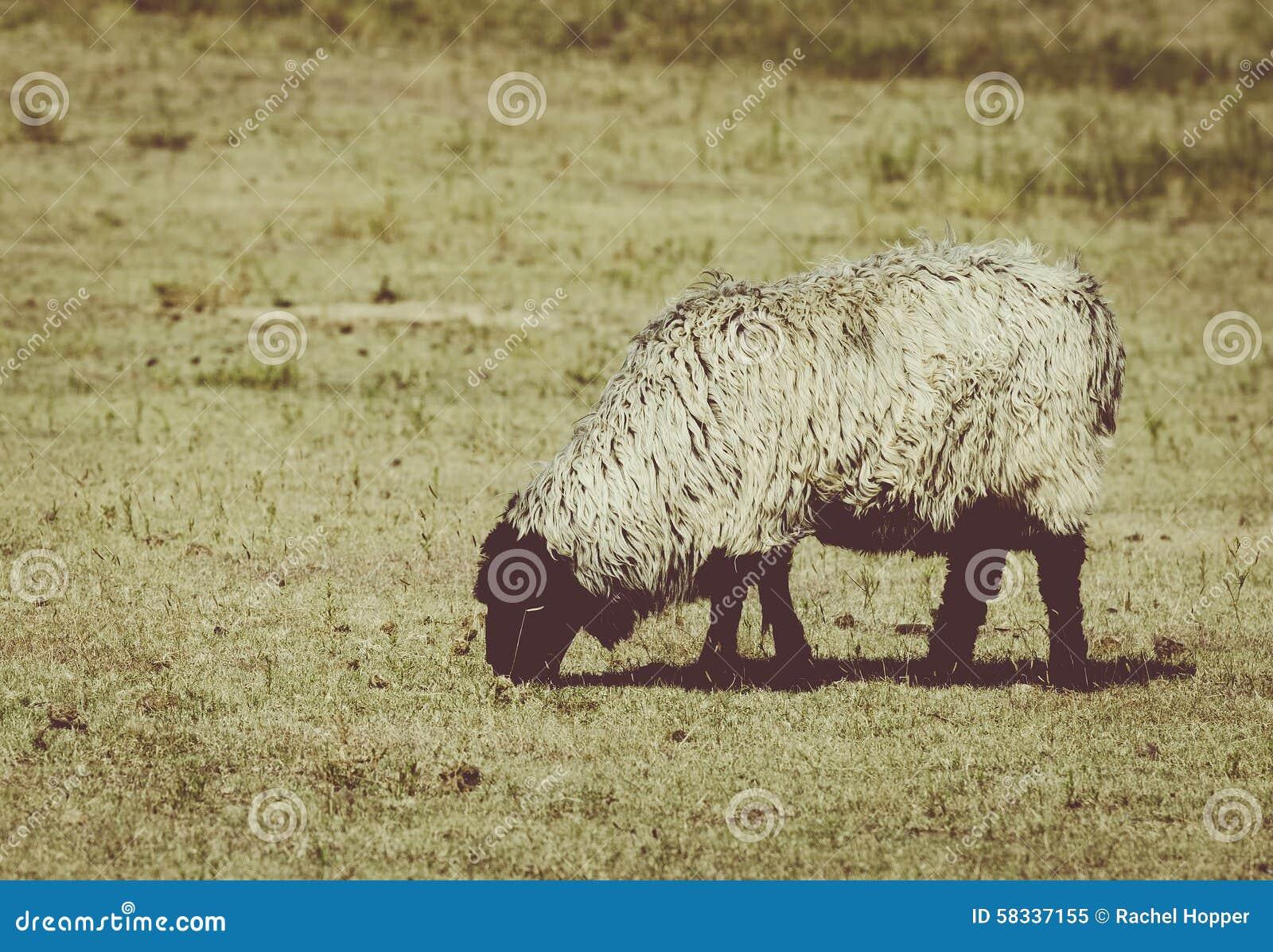 其毛皮绵羊在牧场地