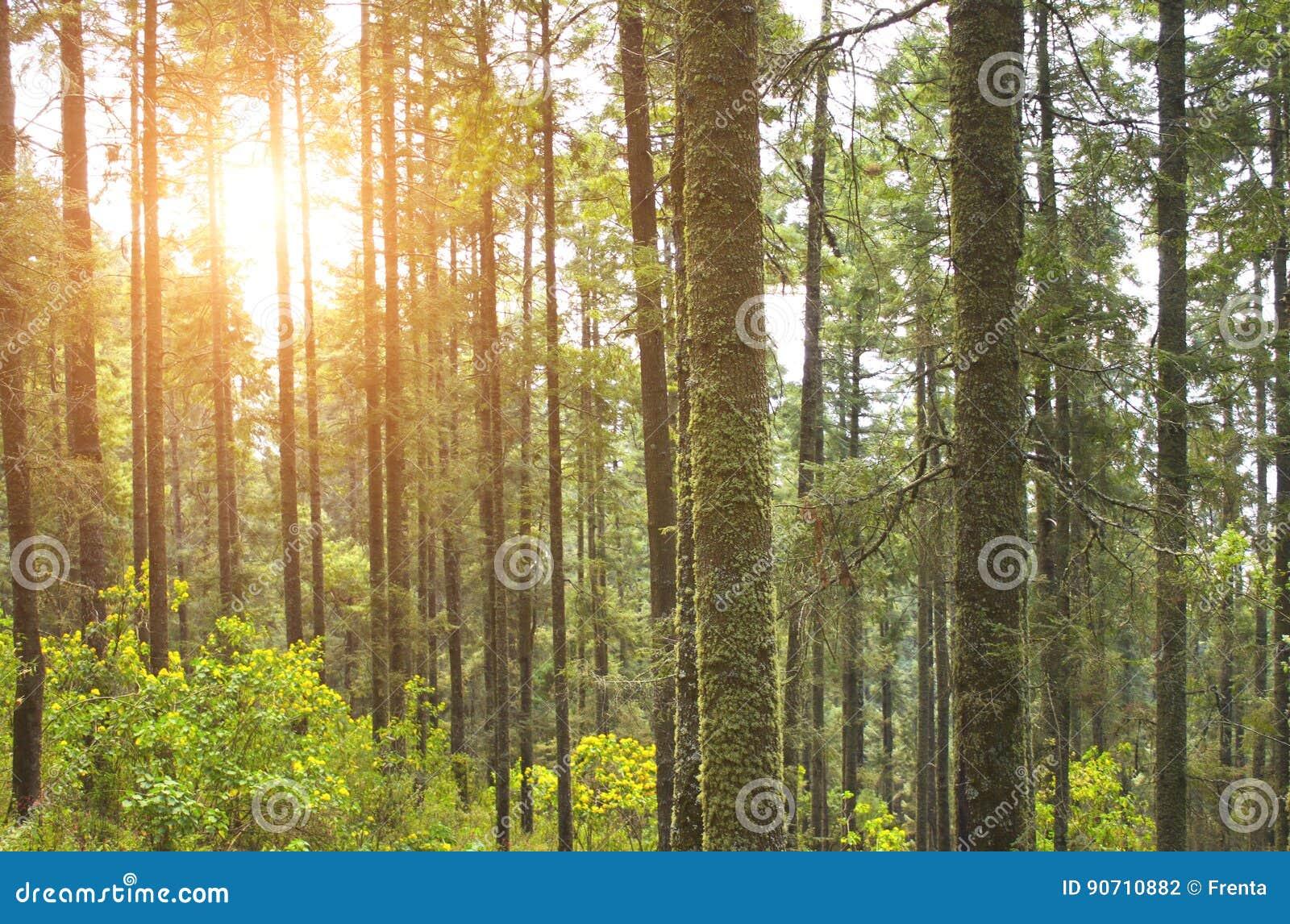 具球果森林