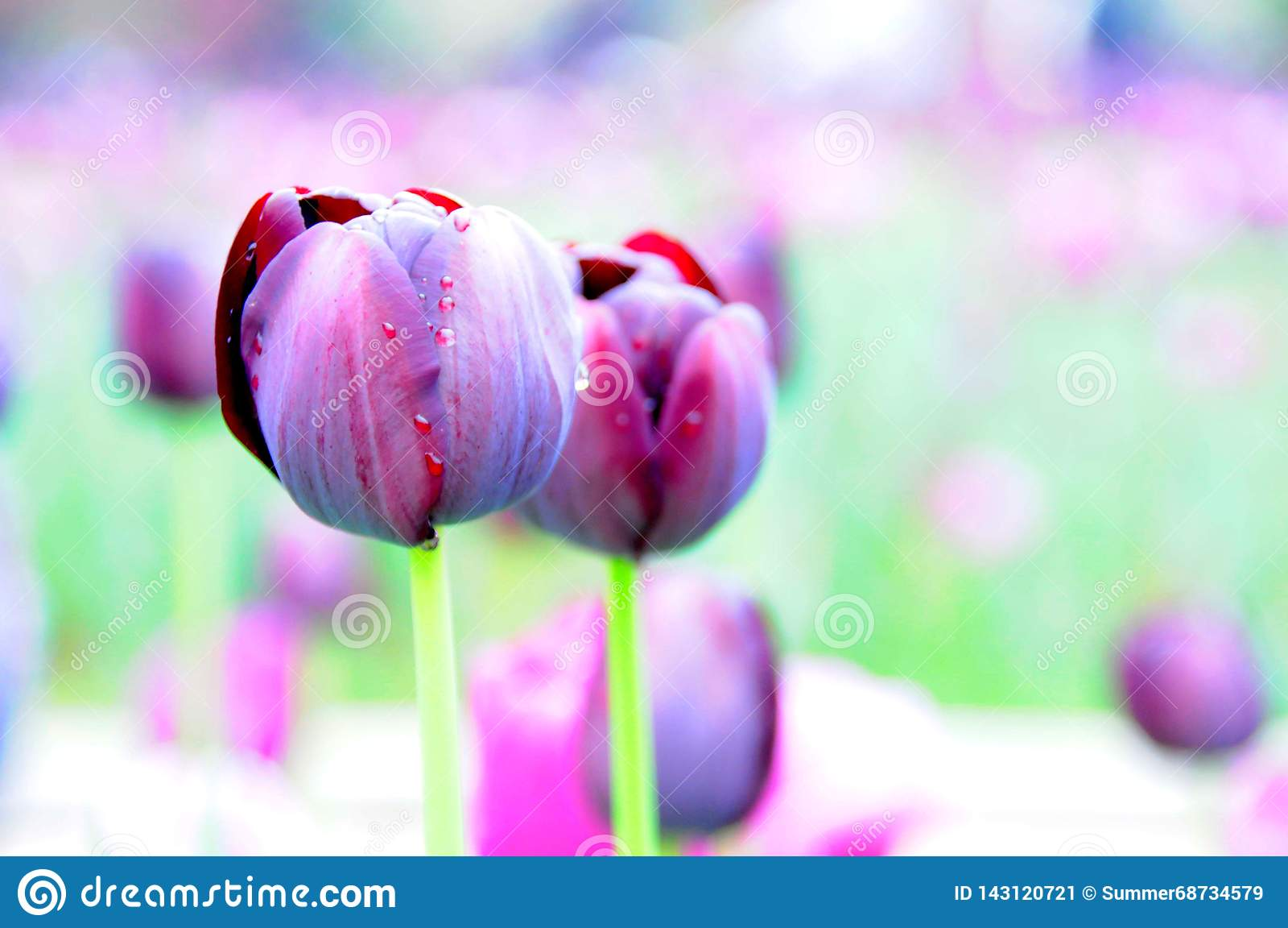 典雅的郁金香花在庭院里