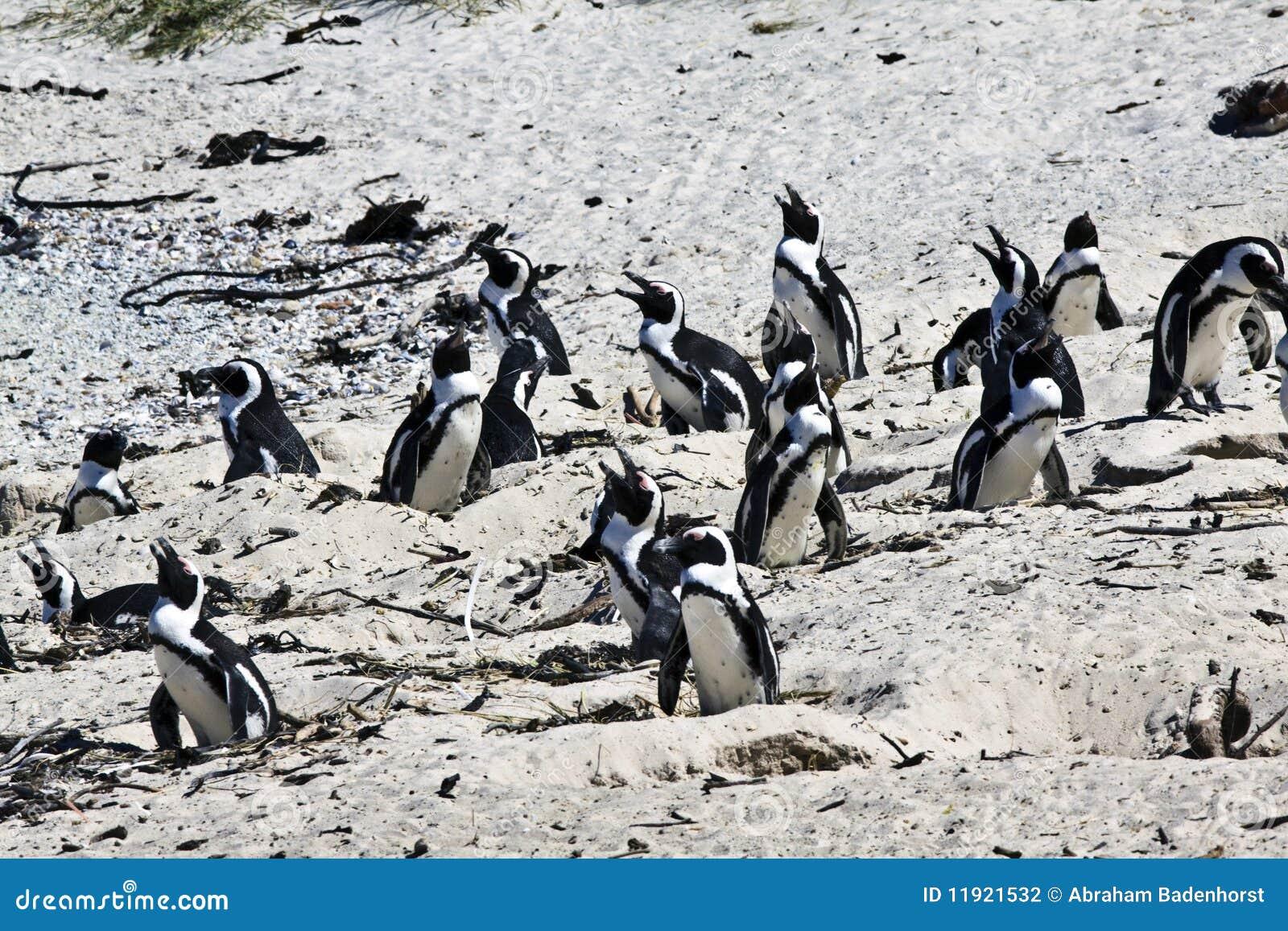 养殖海角企鹅的非洲海滩冰砾