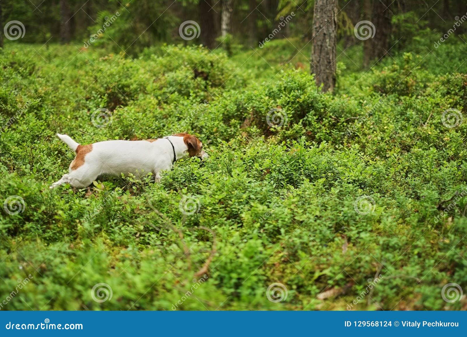冒险杰克罗素小狗奔跑通过森林