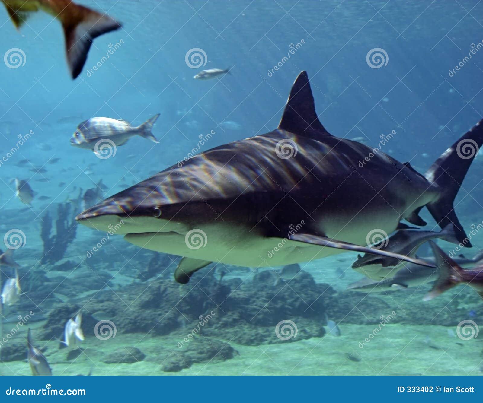 军曹鱼鲨鱼