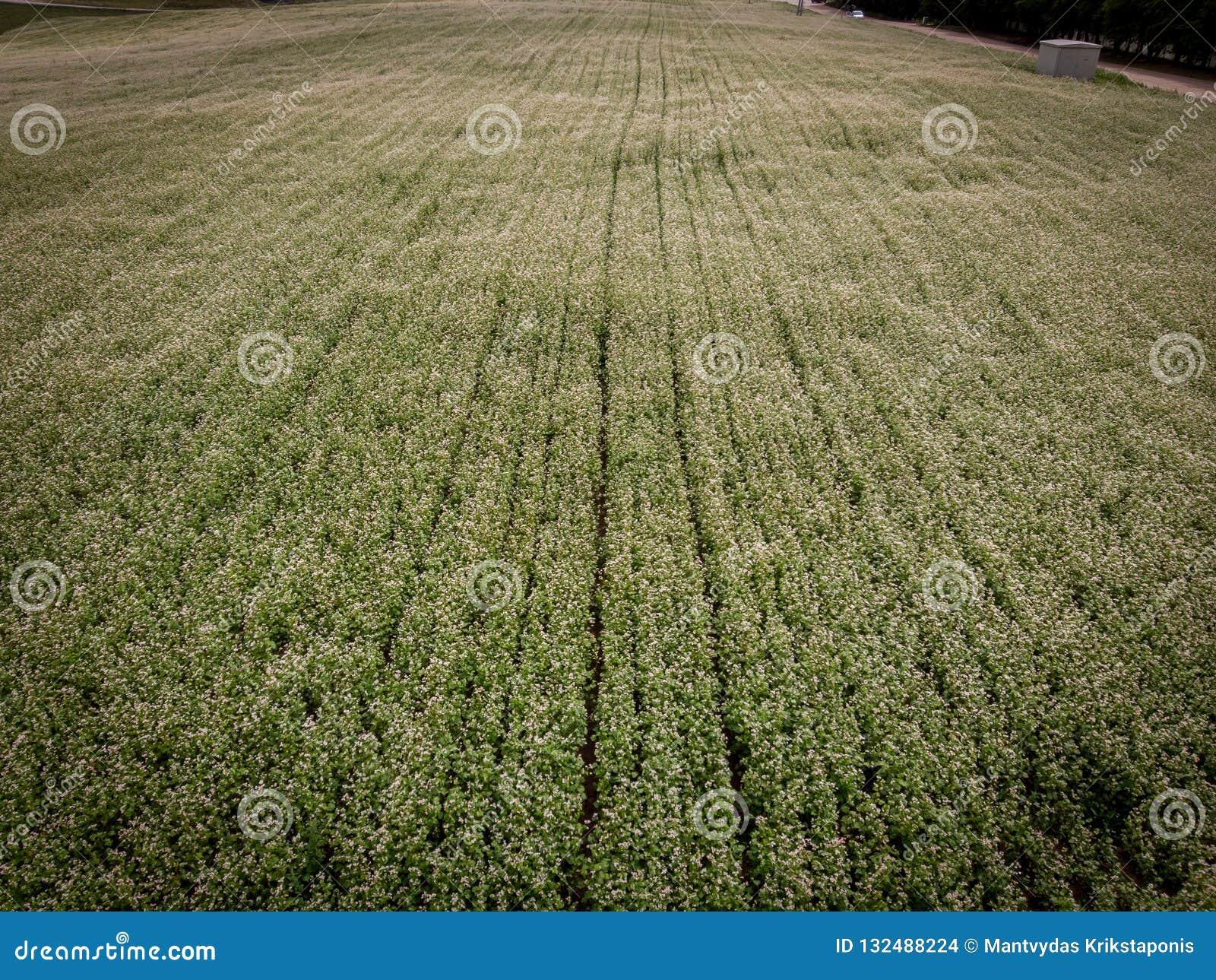 农业油菜籽花的领域