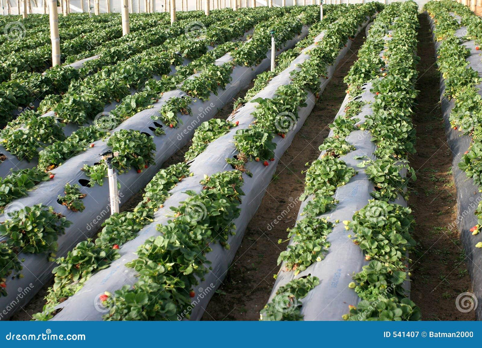 Download 农业草莓 库存图片. 图片 包括有 营养, homesteading的, 搜集, 施肥, 水栽法, 运行, 地产 - 541407
