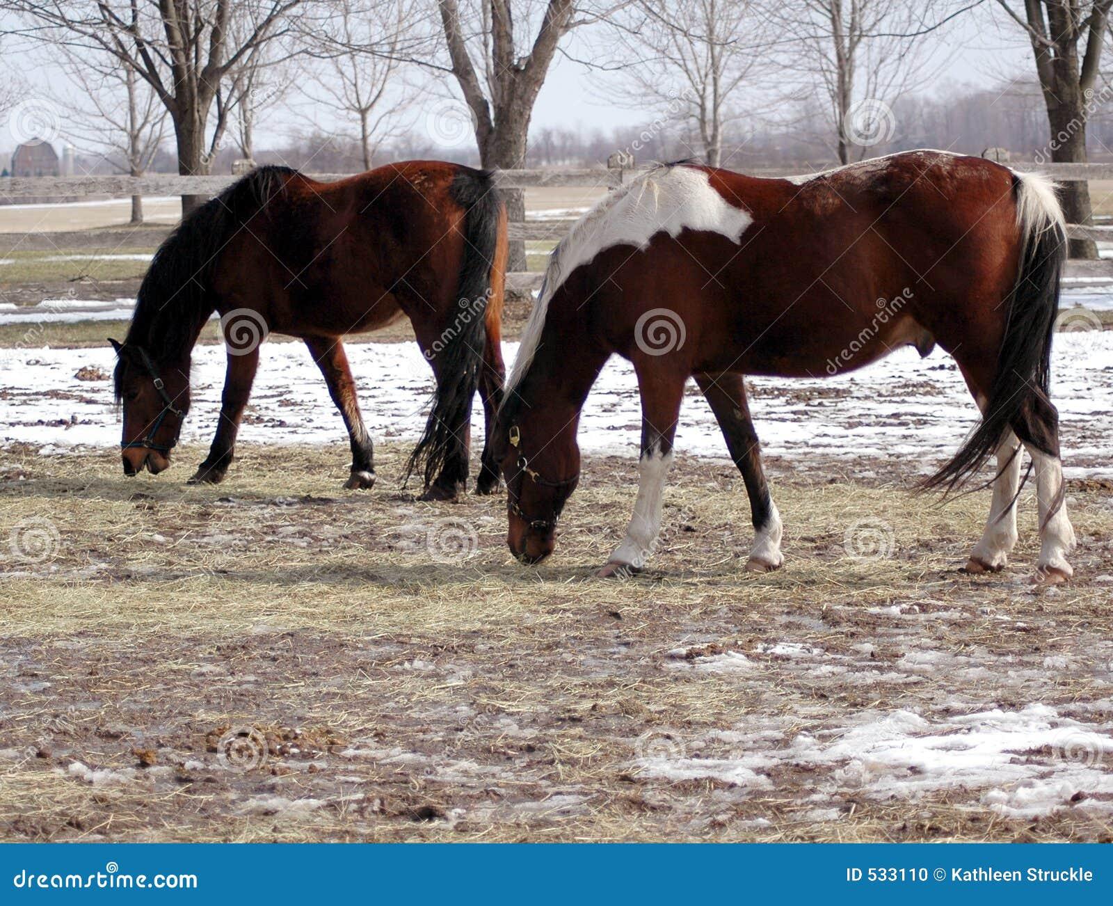 Download 农厂马 库存照片. 图片 包括有 农村, 空白, 哺乳动物, 干草, 宠物, 冬天, 小跑, 领唱者, 上涨 - 533110