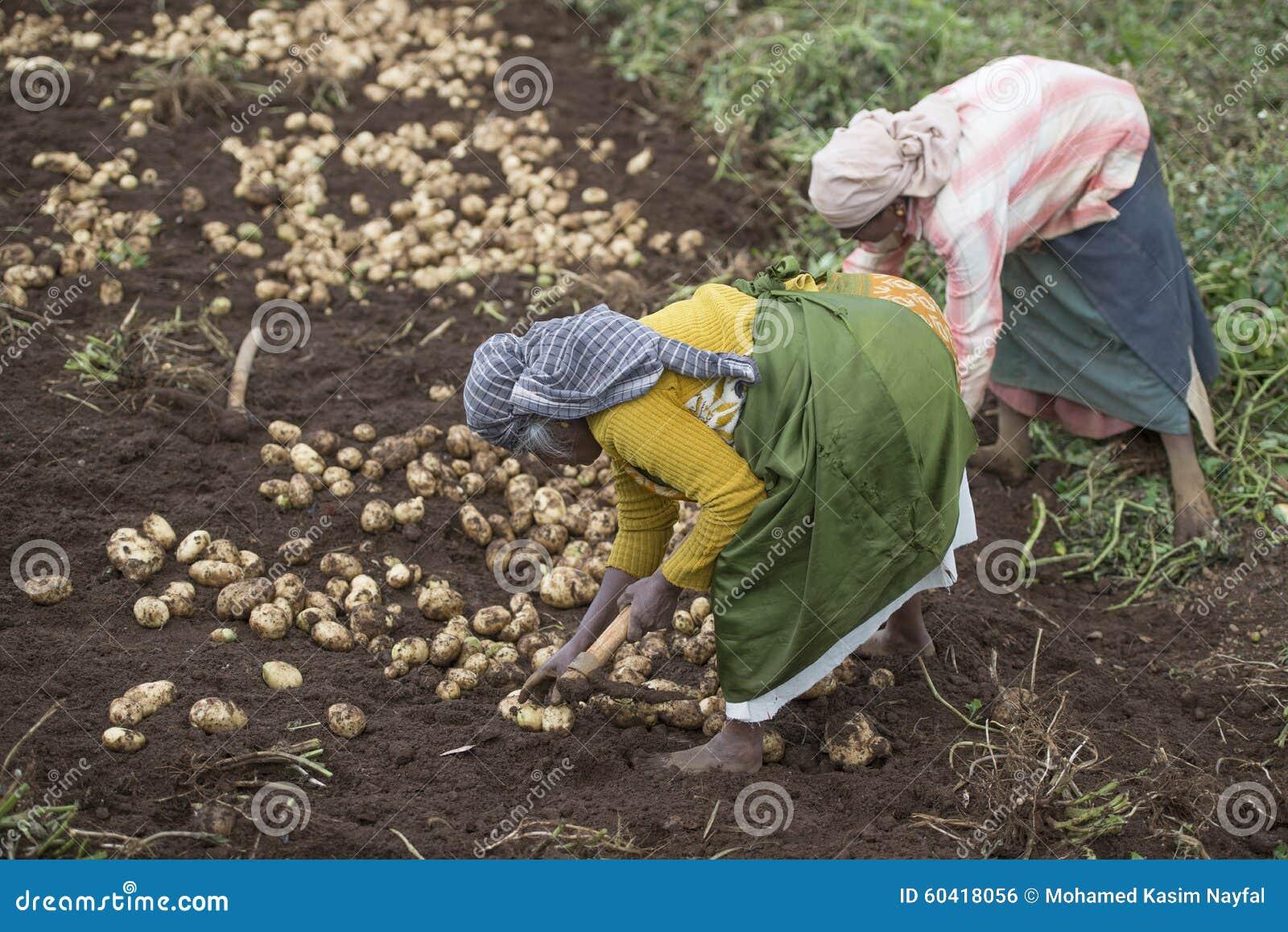农夫在收获他们的在他们的农业领域的乌塔卡蒙德土豆在乌塔卡蒙德