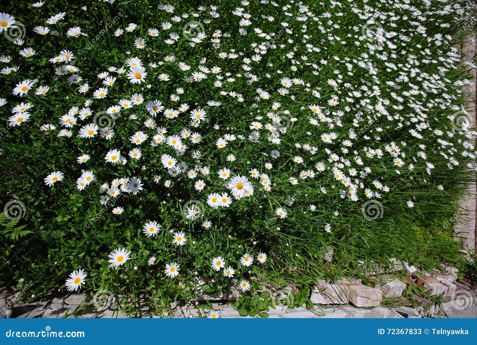 冠上在绿草和camomiles下的美好的领域作为backgro