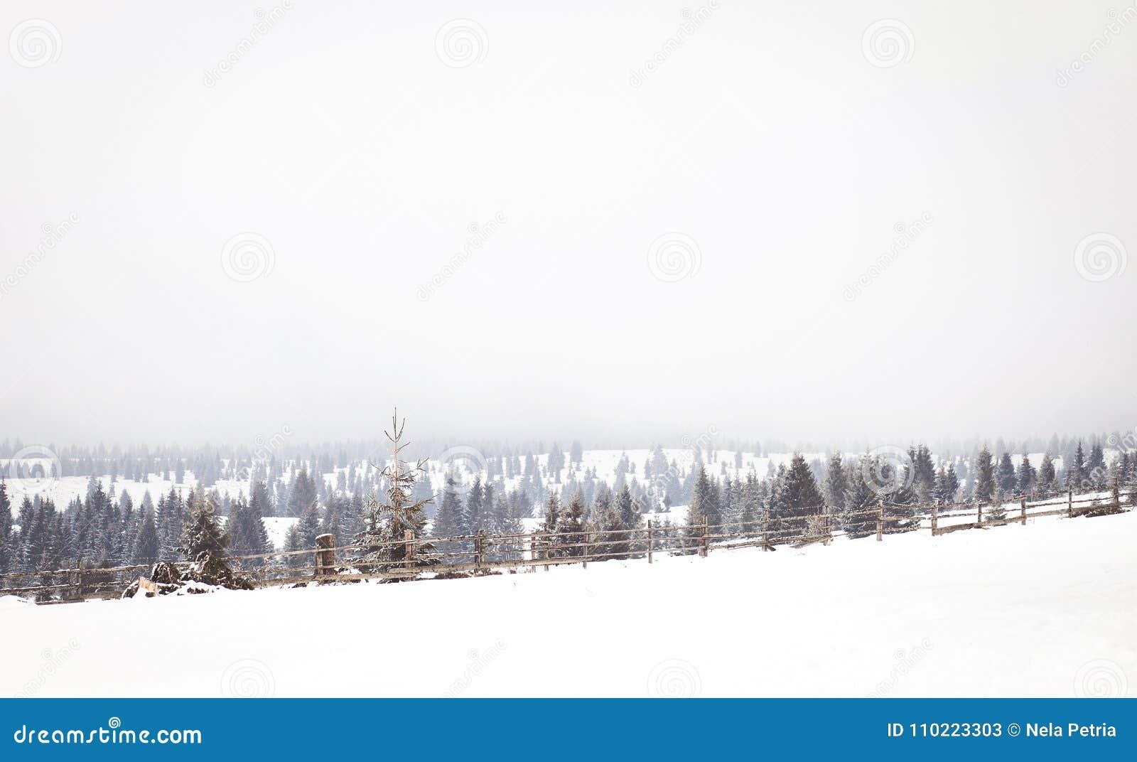 冬天妙境风景,多雪的杉树背景