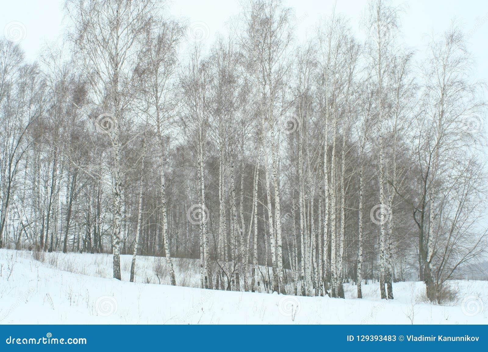 冬天年轻桦树树丛