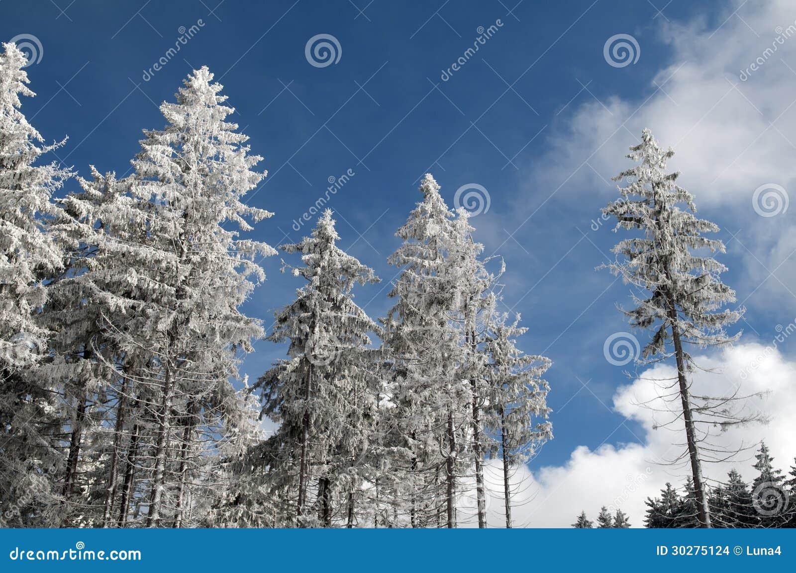 树在一个晴天的unter雪