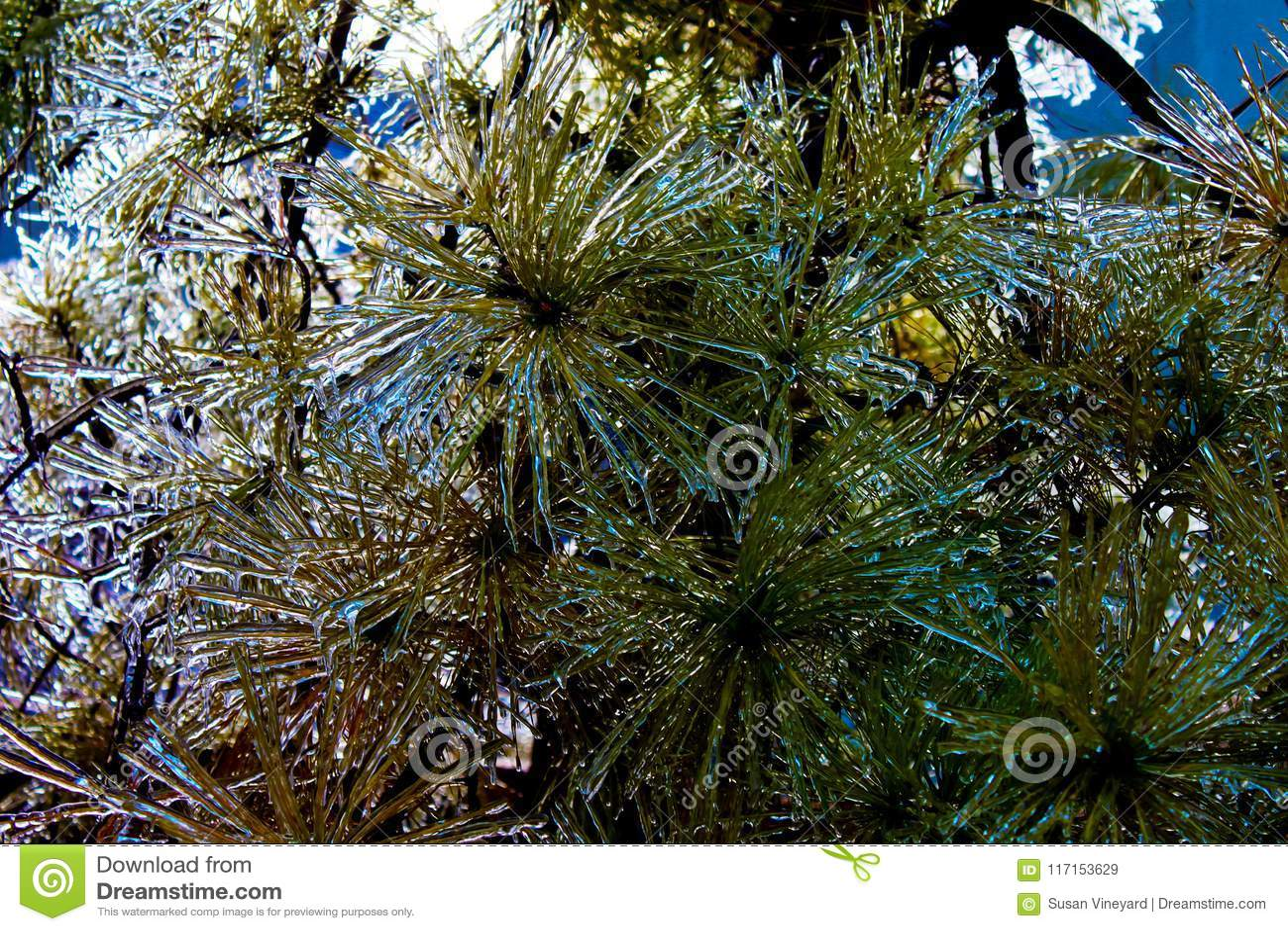 冰被复的常青大树枝特写镜头
