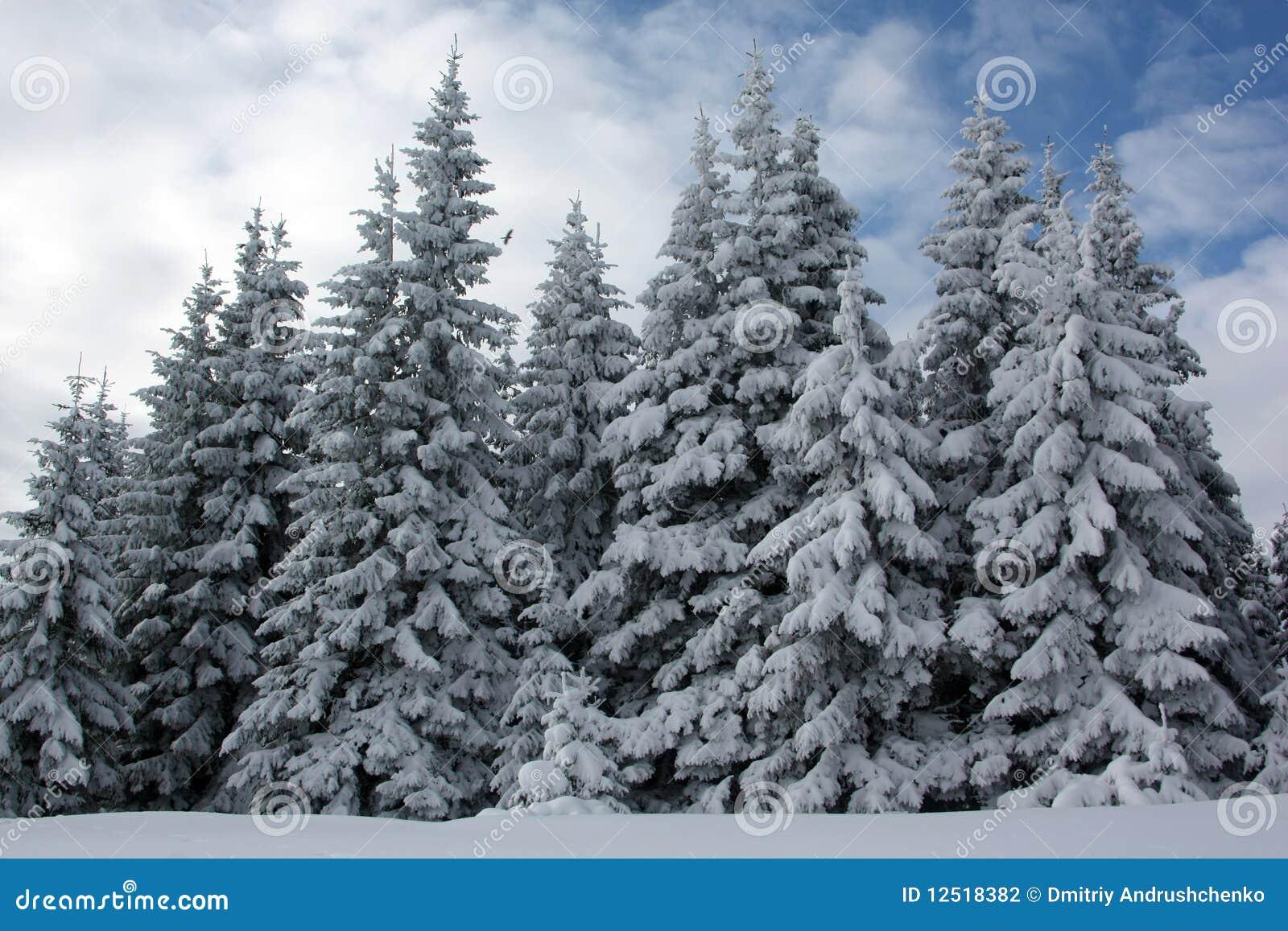 冷杉森林冬天