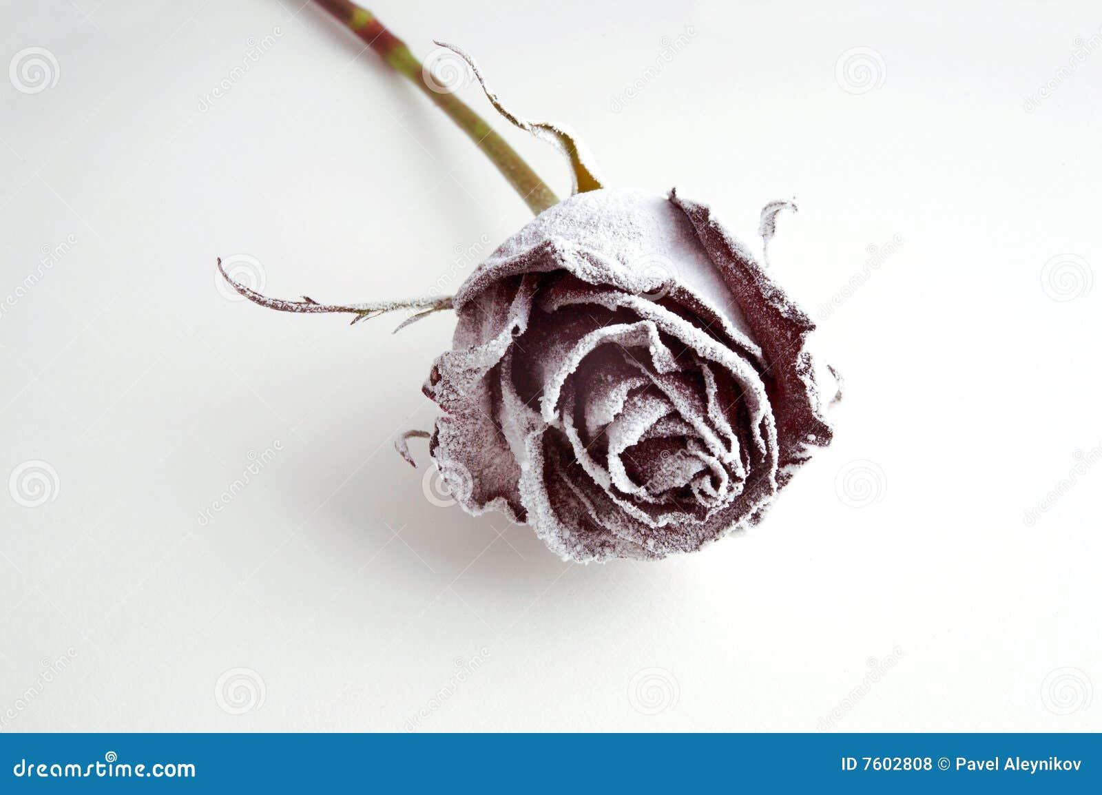 冻结的玫瑰白色