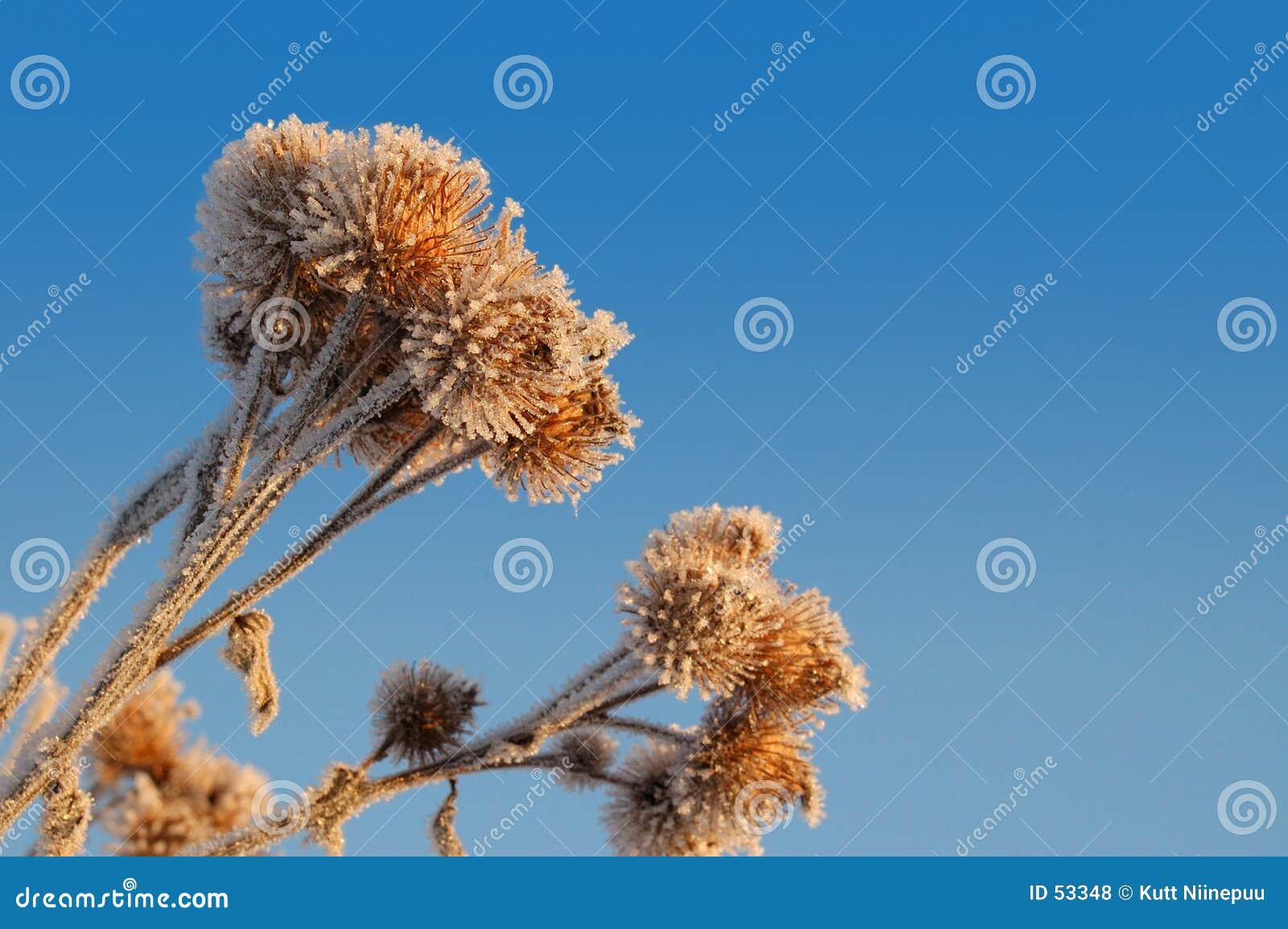 冻结的2植物名burs