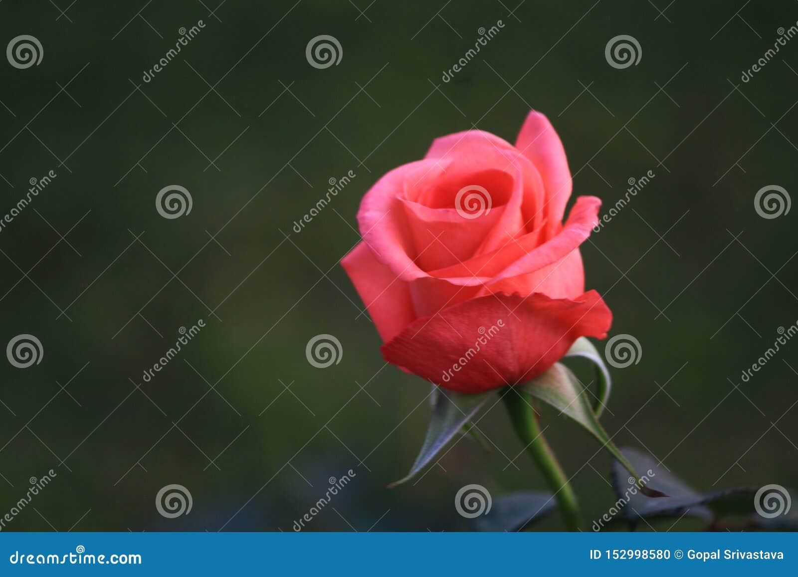 准备好另一美丽的玫瑰色的芽开花