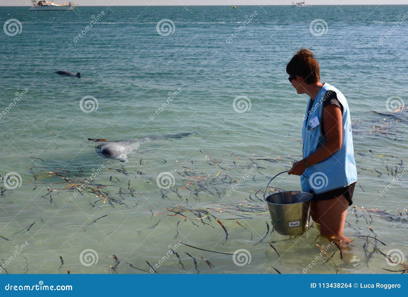 准备好的志愿者喂养海豚 猴子Mia 鲨鱼湾 澳大利亚西部