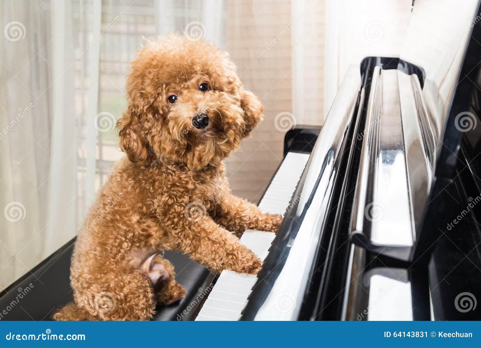 准备逗人喜爱的狮子狗的概念弹大平台钢琴
