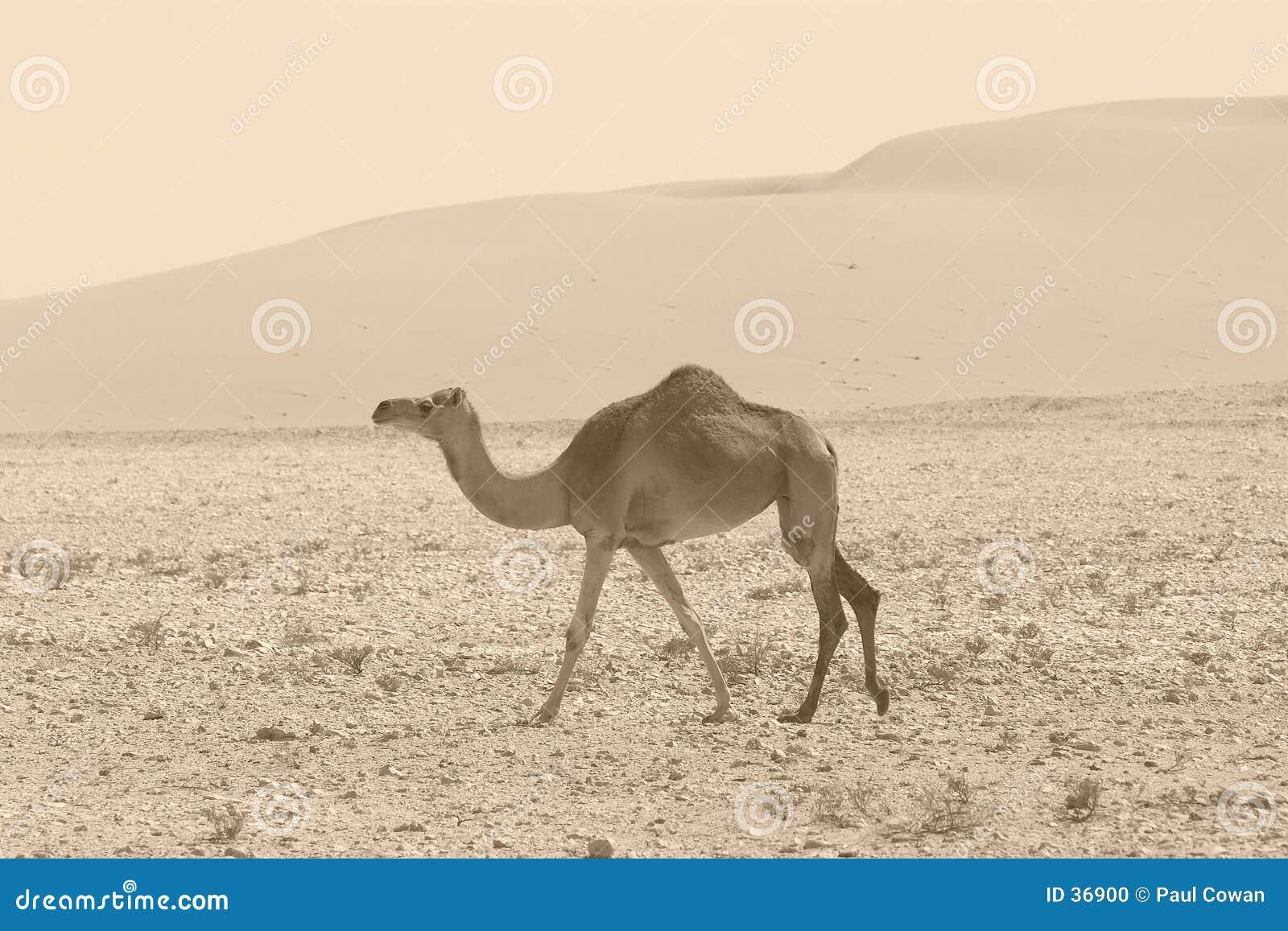 减速火箭的骆驼