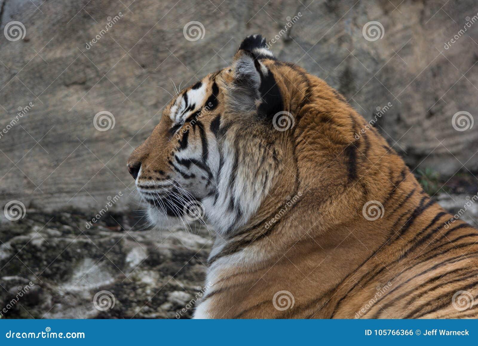 凝视到左边的老虎