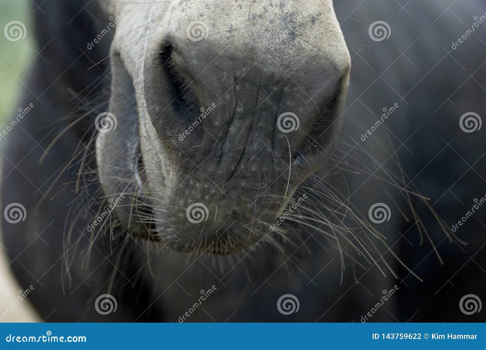凝视在一匹马的鼻子下与颊须的